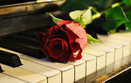 rose, piano, music, mood, portrait, rose, Piano, music, mood, portrait