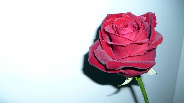 rose, red, flower, rose, red, flower