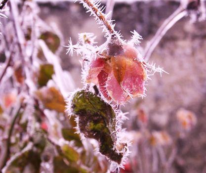 rose, gel, hiver, fleur, frost, Flowers, Winter
