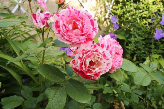rose, fleurs, rouge