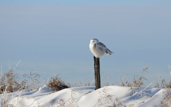 bird, snow, column, grass, Owl, Winter