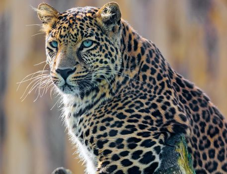 young, male, leopard, posing, branch