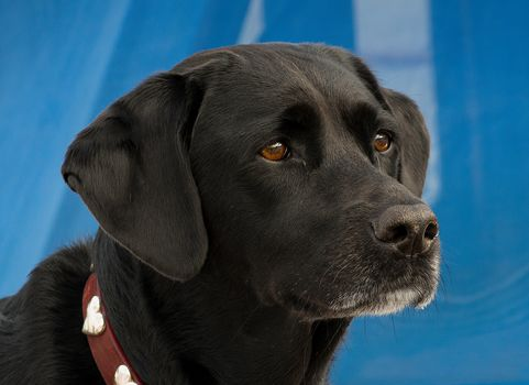 Super Dog, dog, portrait, view