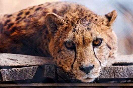 cheetah, Cheetah, Toni's Zoo, Hochdorf, Canton of Lucerne, Switzerland