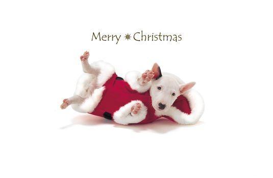 Animals, animal, dog, santa, happy, holidays, merry, Christmas