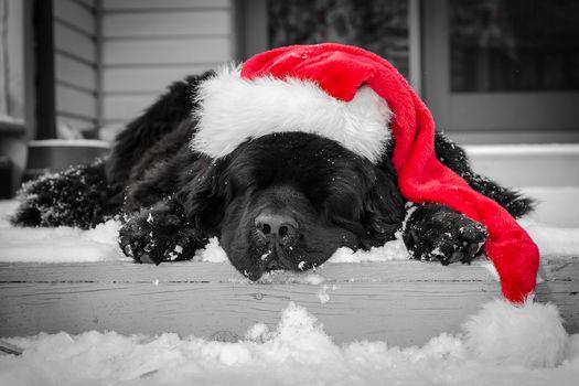 sleepy, dog, dogs, animal, Animals, Heat, snow, winter