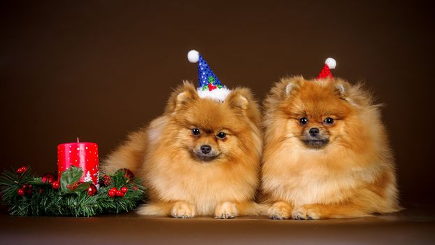 Animals, animal, dogs, dog, happy, new, year, merry, CHRISTMS