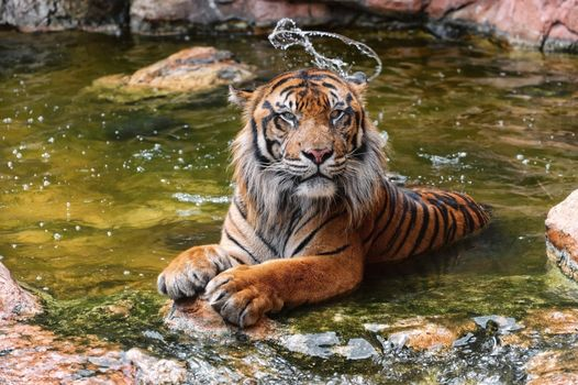 tiger, wildcat, Snout, water, bathing