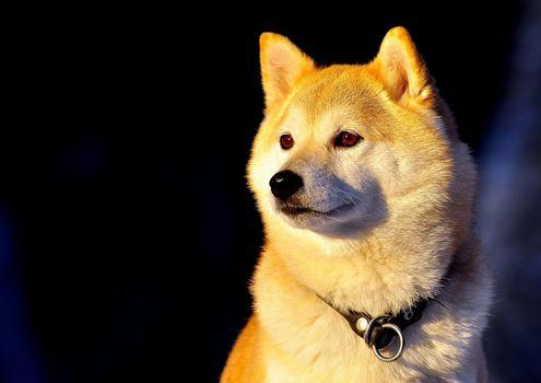 Сиба-ину, collar, dog