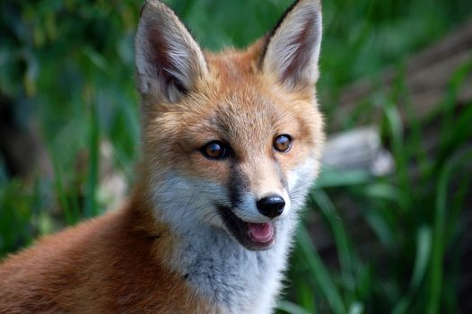 muzzle, fox, Redhead