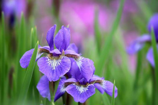 background, Irises, lilac