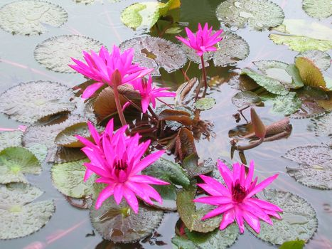 lily, flowers, Macro