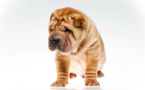 dog, view, friend, shar
