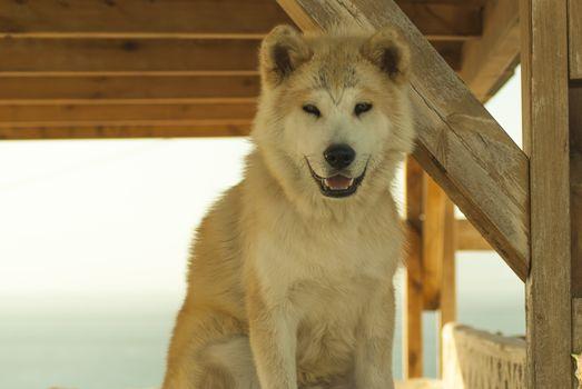 Samoyed, Santorini, smile, friend, dog