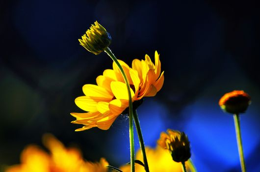 BUDS, background, Flowers, blue, yellow