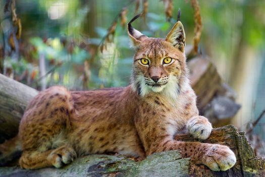 сибирская рысь, siberian lynx, хищник