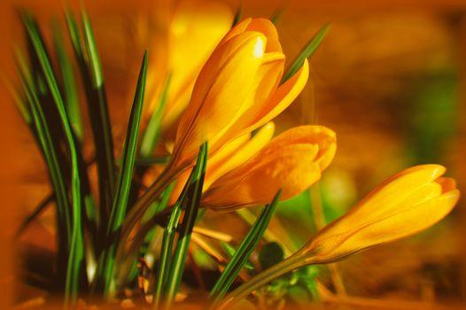 Flowers, Crocuses, Macro