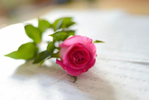 rose, music, bokeh