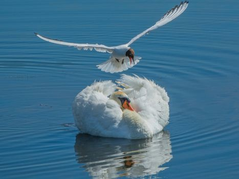 swan, seagull, birds, water