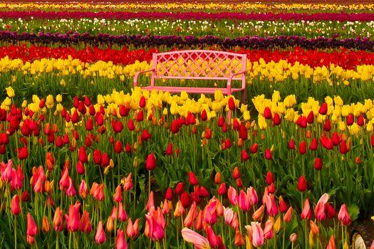 Woodburn, Oregon, Woodburn, Oregon, Tulip Festival, TULIPS, BUDS, Multicolored, bench