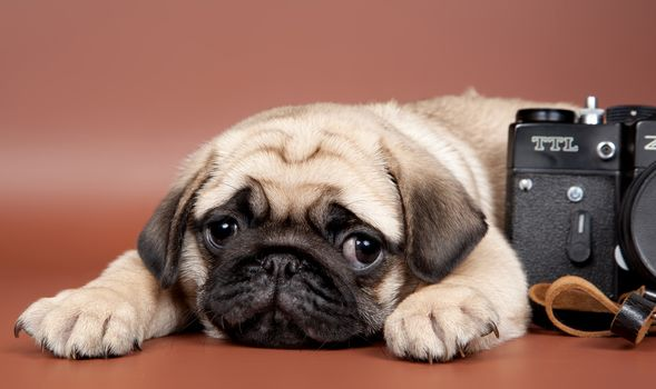 pug, dog, puppy, Snout, view, camera