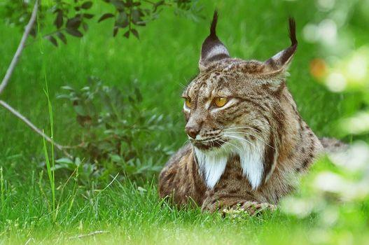 lynx, predator, animal