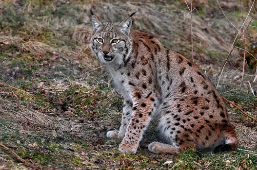 Lynx, хищник, животное