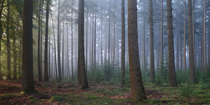 forest, trees, spruce, haze, prioda, Tava