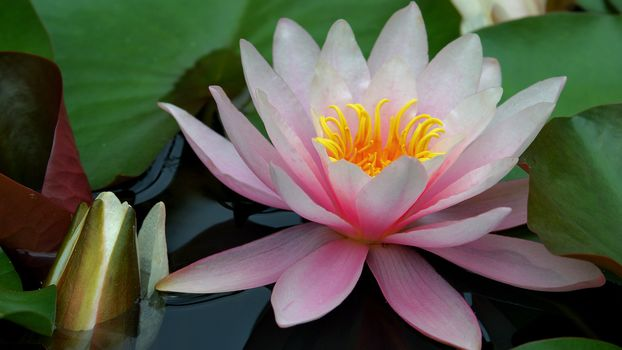 water, lily, lily