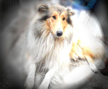 dog, collie, animal