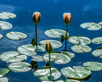 Water Lily, water lily, flower, flora