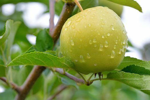 branch, apple, drops, Macro