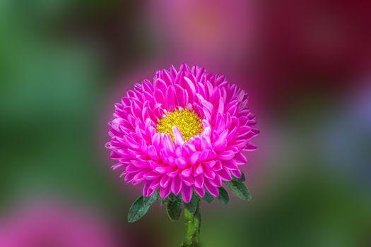 Aster Kwiat, aster, Macro