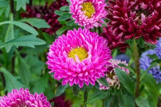Aster Kwiat, astry, Kwiaty, flora