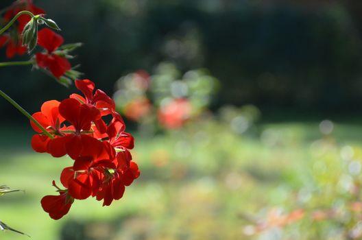 Kwiat, czerwony, charakter