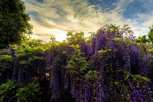 Ashikaga Flower Park, Japonia, Ashikaga Flower Park, Japonia, park, glicynia, Wisteria