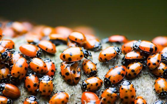 Ladybird, Macro