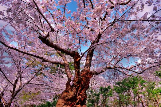 cherry, tree, Flowers, nature
