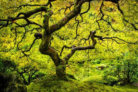 Japanese Garden, tree, autumn, nature