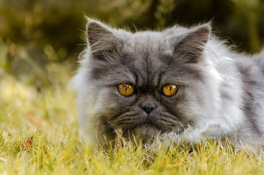 Persian cat, COTE, Persian, muzzle, view