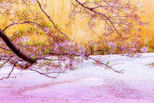 SAKURA, cherry blossoms, Tokyo