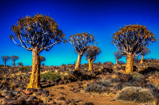 Kalahari, Quiver tree, field, landscape