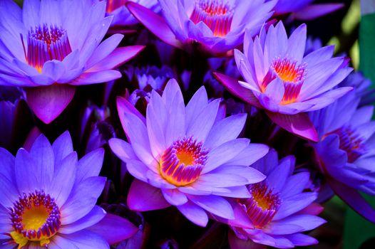 uoluboy lotus, lily blue, Macro