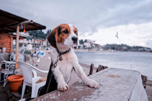 beagle, dog, puppy, chain, embankment