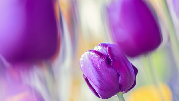 tulip, TULIPS, Flowers, flower, flora, plants, gently, handsomely