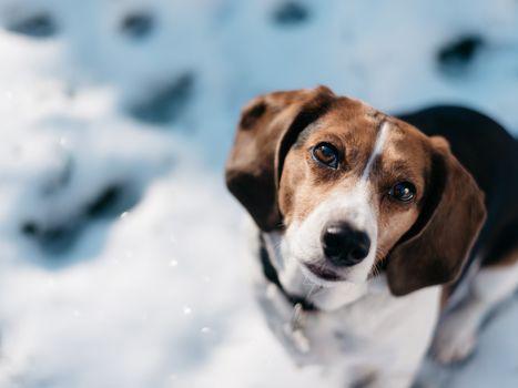 beagle, dog, Snout, view