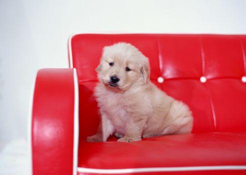 собака, щенок, диван, красный