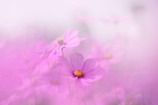 Flowers, flower, kosmeya, cosmos, flora, plants