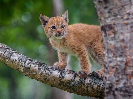 lynx, rysenok, kitten, baby, tree, branch, on the tree