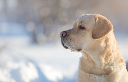 Labrador Retriever, dog, dog, Snout, profile, portrait